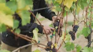 No wining: BC wineries get creative with grapes tainted by smoke (01:56)