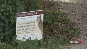 Three more people injured in Stanley Park coyote attack (00:27)