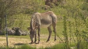 Toronto Zoo's drive-thru tour opens with long waitlist