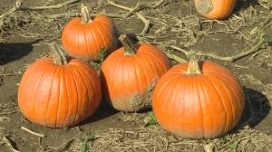 A look at Pumpkin Season in South Eastern Ontario (01:46)