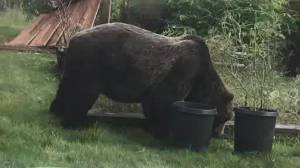 Huge grizzly tranquillized in Squamish area