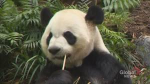 Calgary Zoo will return giant pandas to China (02:08)