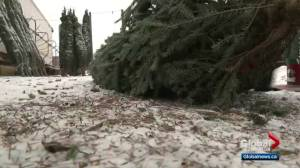 Canadians being warned of potential for Christmas tree shortage