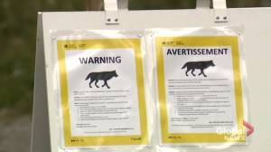 Young wolf euthanized, warnings issued in Banff following additional sightings of 'bold' wolf (01:16)