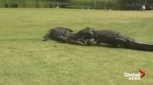 Two large alligators caught fighting on golf course in South Carolina