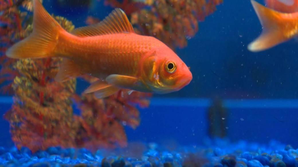 'Goldfish infestations threatening autochthonal  food  taxon  successful  B.C. lakes'