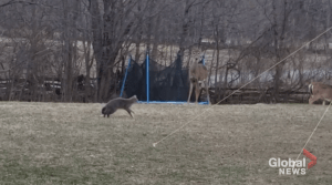 Cat chases deer away from yard in Havelock, Ont.