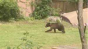 Bear spotted in Montreal's Dorval area, police urge residents to stay indoors (00:31)
