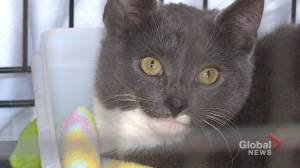 Rescued cats from emptying N.L. town will soon be ready for adoption