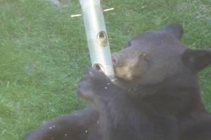 Black bear dines on bird seeds in Calgary backyard