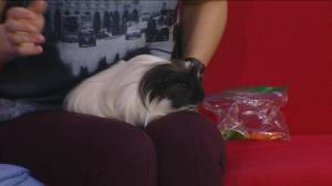 Adopt a Pet: S'more the guinea pig has your winner for the big game