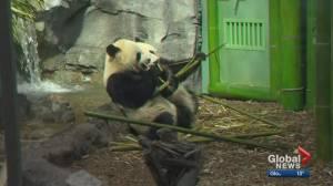 Calgary Zoo prepared to bid farewell to giant panda twins