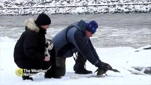 Good Samaritans help free duck frozen in puddle in Quebec