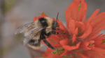 Helping BC's native bees