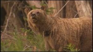 B.C. man attacked by grizzly bear, escapes serious injury: Conservation Officer Service (02:25)