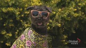 How a Miniature Schnauzer named Bacon became a doggy fashionista & influencer (03:17)