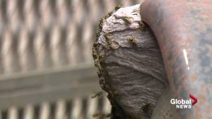Health Matters: The sting of summer as wasps thrive in Edmonton (02:35)