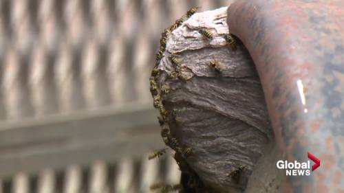 Health Matters: The sting of summer as wasps thrive in Edmonton | Watch News Videos Online