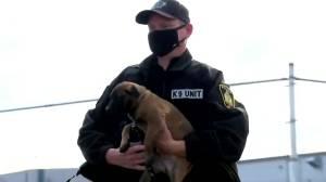 Puppies welcomed into Winnipeg Police K9 breeding program (00:42)