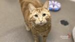 Adopt a Pet: Tarquin the cat