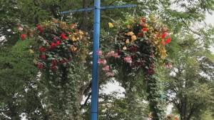 Gardening: Secret to beautiful hanging baskets