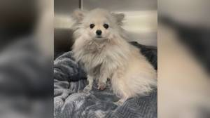 Mississauga man accused of animal cruelty denies knowing how his daughter's dog was injured (02:42)