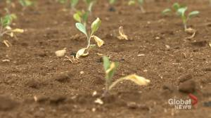 New Brunswick farmers hope for a little assistance from mother nature