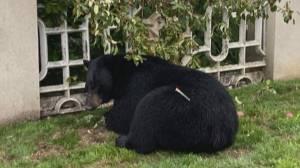 B.C. wildlife society says to many black bears are being killed (02:20)