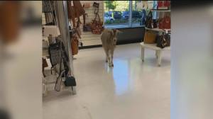 Goat spotted shopping in purse section of B.C. store (00:29)