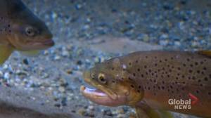 Calgarians wade in to see how trout are recovering after 2013 flood: 'we should care about the fish'