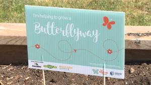 Staying connected during covid by planting wildflowers to help with the Butterflyway Challenge. (01:44)