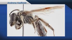 New species of bee named after retired Canadian astronaut Chris Hadfield