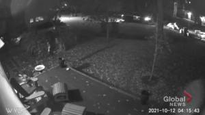 Bear and cub spotted in southwest Calgary yard (01:22)