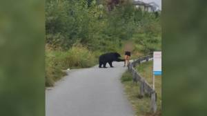 Bear is caught on camera taking a swipe at a jogger on a Coquitlam Crunch trail (02:00)