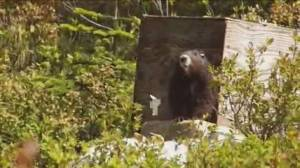 B.C. wildfire threatens Vancouver Island marmot habitat