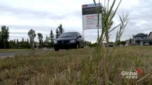 Mower mystery: Calgary pollinator corridor gone after 'heartbreaking' destruction (01:30)