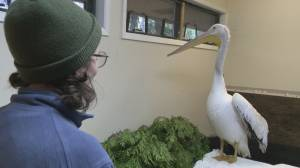 Burnaby wildlife centre works to save endangered pelican