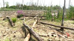 Environmentalists blame REM for draining Herron's Pond in wetland near Trudeau airport (01:44)