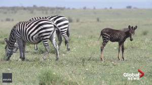 Spotted: Rare polka-dot zebra in Kenya