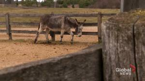 Visiting The Donkey Sanctuary of Canada (03:40)