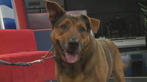 Adopt a Pet: Ziggy the German Shepard