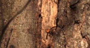'Murder hornet' nest found near B.C. border (01:02)