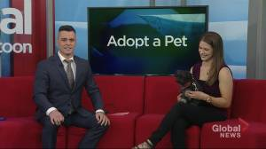 Koda the shih tzu needs a home