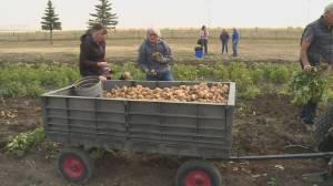 Nearly 1,300 pounds of vegetables harvested through victory garden donation project