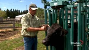 'It's not a big draw': veterinarian shortage impacting rural practice (01:49)