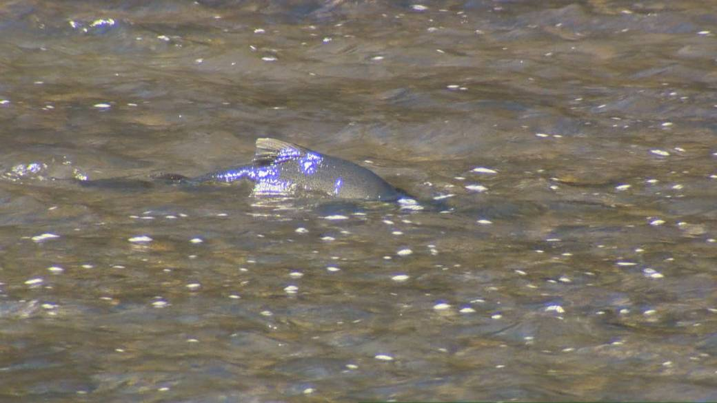 It's peak season for salmon migrating through Toronto's rivers