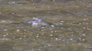 Peak season for salmon migration through Toronto