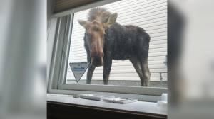 Moose on the loose in Saskatoon (00:25)