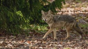Coyote attacks hurting Stanley Park businesses (01:38)