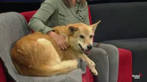 SCARS showcases Stanley the senior dog